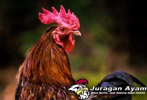 Penyebab Adanya Kutu Pada Ayam dan Tips mengatasinya
