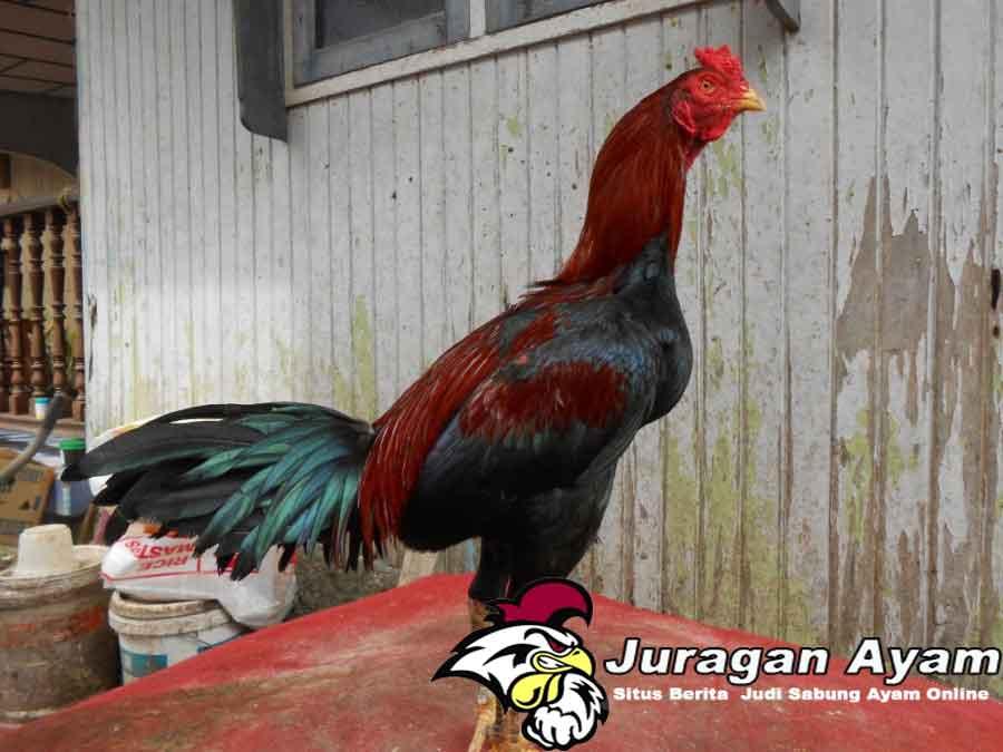 Beberapa Cara Ternak Ayam Birma Yang Baik
