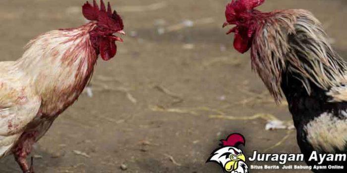 Beberapa Pakan Yang Baik Untuk Ternak Ayam Bangkok