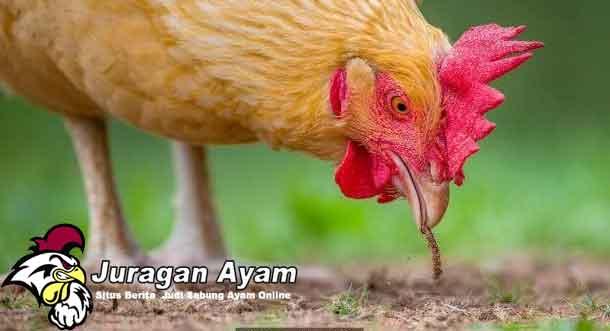 Penyebab & Cara Mengatasi Kotoran Ayam Bangkok