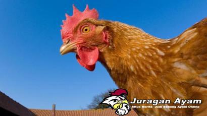Tips Mengenali Ciri Ayam Super Bulgaria