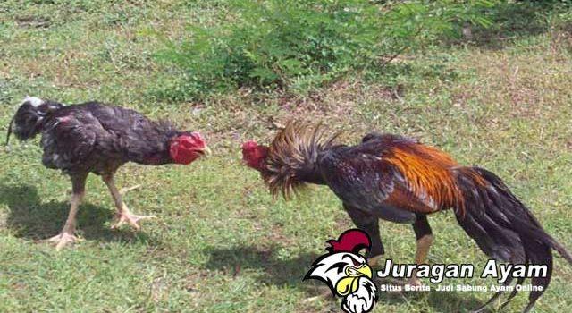 Cara Tepat Memandikan Ayam Bangkok
