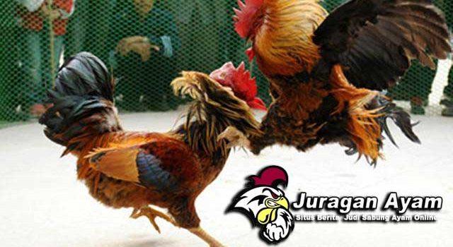 Langkah Agar Stamina Ayam Aduan Lebih Tahan Lama