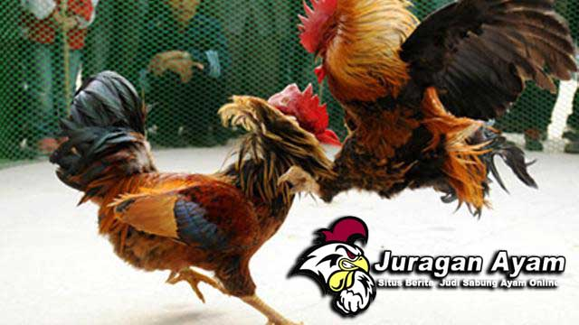 Tips Melatih Ayam Bangkok Pukul Mati