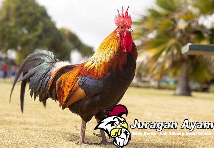 Beberapa Syarat Mutlak Yang Harus Dimiliki  Ayam Petarung