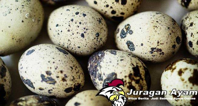 Manfaat Telur Puyuh Untuk Ayam Aduan Bangkok