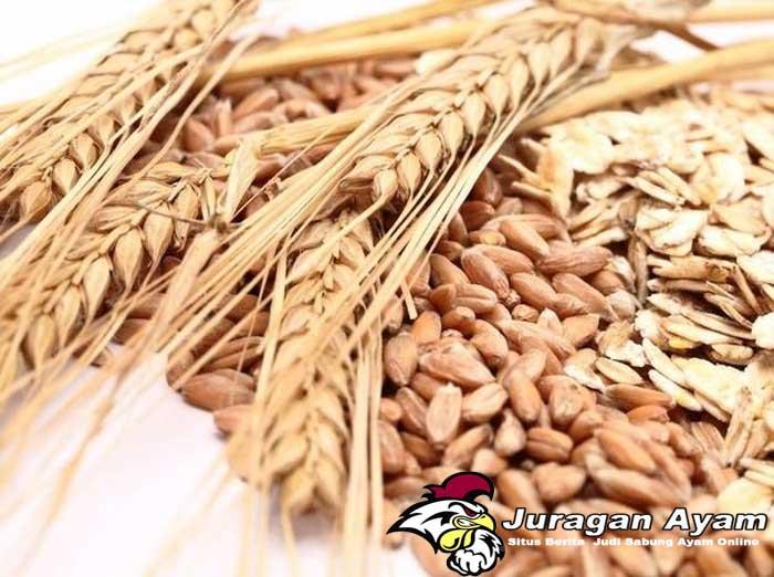 Beberapa Manfaat Gandum Bagi Ayam Bangkok