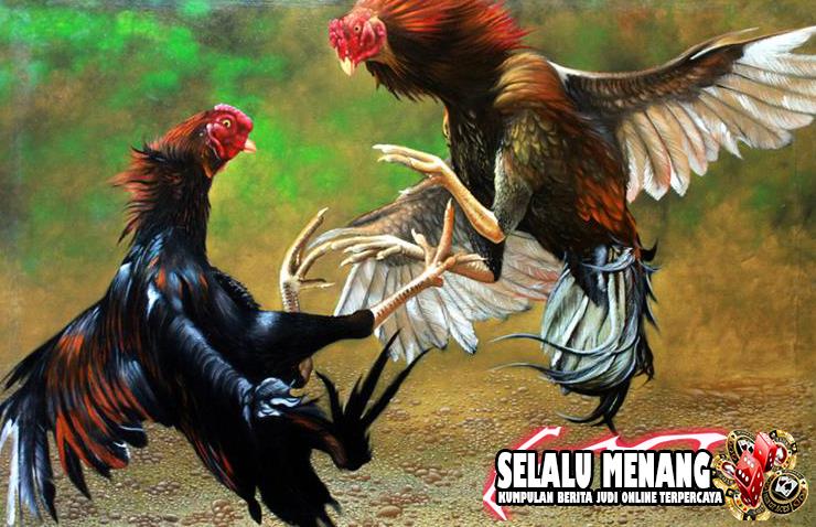 Penyebab dan Cara Mengobati Ayam Aduan Yang Turun Urat