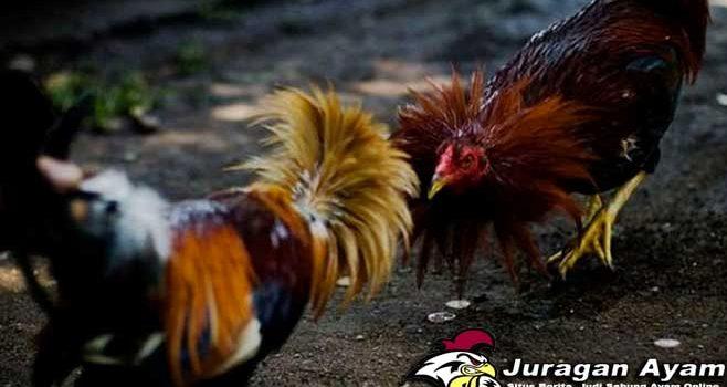 Beberapa Cara Menghindari Kecurangan Di Arena Sabung Ayam