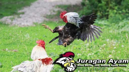 Ayam Aduan Vietnam Yang Perkasa Dalam Arena