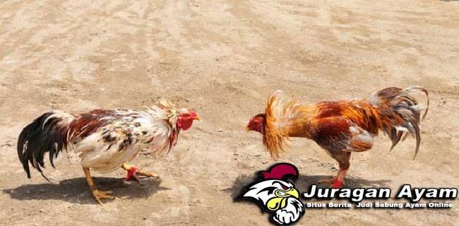 Berbagai Ketarungan Ayam Bangkok Terbaik