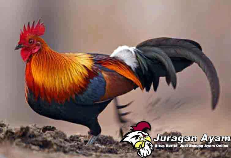 Berbagai Keunikan Ayam Brugo Hias